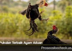 Titik Pukulan Terbaik Ayam Aduan